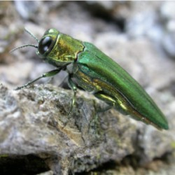 The Emerald Ash Borer is now confirmed at Shawnee Mission Park.