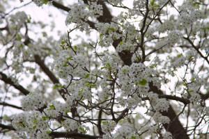 Flowering_Tree_PVPost