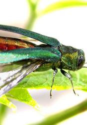 The Emerald Ash Borer, which destroys ash trees and has now been found in NEJC. Photo from USDA.