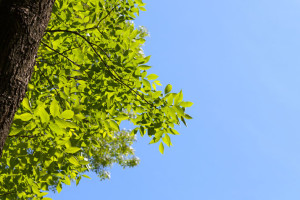 Prairie Village will remove 100 ash trees this fall.