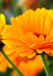 Calendula officialis.