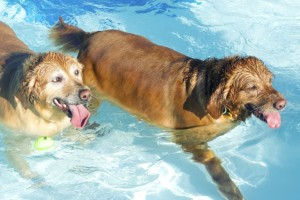 These dogs could not have been happier than they were sharing the pool in Mission Tuesday night.