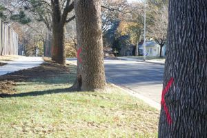 Two sides of R Park are lined with ash trees that are  marked to come down.