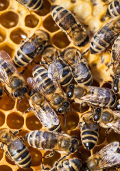 Prairie Village residents will be limited to two hives per property under the new ordinance.