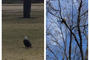 Bald_Eagle-Porter_park
