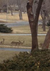 Deer_PV_15