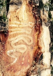 The scars left by Emerald Ash Borer infestation on the north Prairie Village Tree. Photo provided by Prairie Village Public Works.