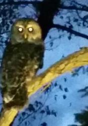 Wildlife_Owl_Pic