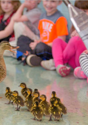 The mother mallard and her 11 ducklings make their way through the Village Presbyterian halls. Photo courtesy Village Presbyterian.