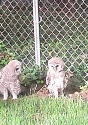 Barred_Owls_Here