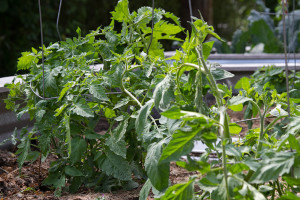 Tomato plants haven't been growing as vigorously as usual on account of the cool weather and excess rain.