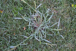 Crabgrass has flourished in northeast Johnson County this summer on account of the cool, wet weather.