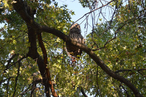 Barred_Owl_Ten