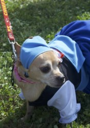 Sage the Chihuahua won the costume contest dressed as a barmaid.