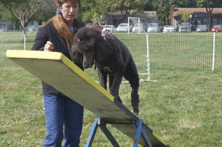 Zooey the poodle tried her hand, rather foot, at the see-saw in the agility course.