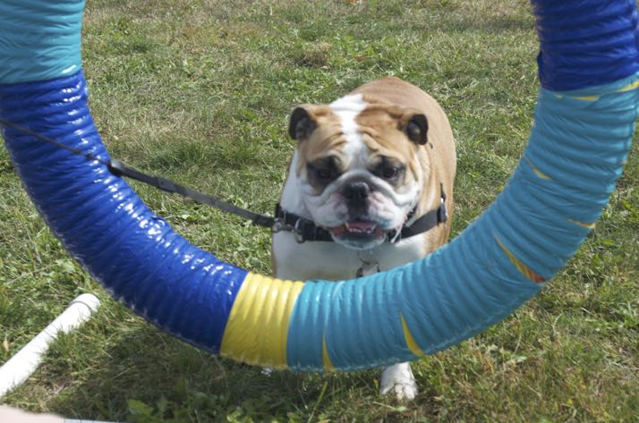 Some dogs were having nothing to do with agility trials - or maybe they just don't jump through hoops for humans.