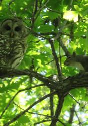 Squirrel_Owl