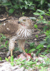 Hawk_Eating_Dove