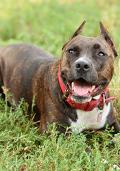 "Prairie Village's ordinance currently bans the ownership of Staffordshire pit bull terriers, American pit bull terriers, American Staffordshire bull terriers, and dogs that have the ""appearance and characteristics"" of those dogs."