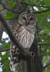 Barred_Owls_PV