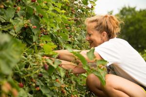 Jane Dermeyer picked blackberries at the Roeland Park community garden last week.