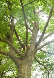 Oak_limb-16