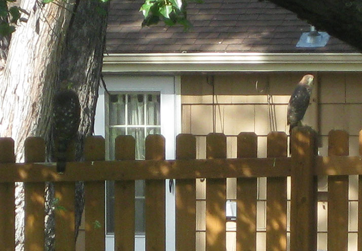 Two hawks perched on Hohensee's fence.
