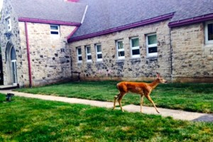 The deer was walking through the church property in Westwood.