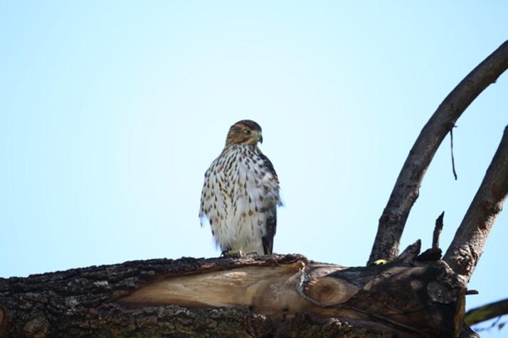Hawk_pic_1
