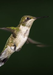 Ruby-throated hummingbird captured by David Mootz.