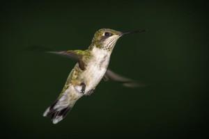 Ruby-throated hummingbird captured by David Mootz.
