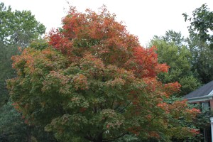 Area trees are beginning to show off their Fall finery.