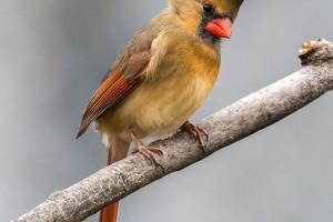 Cardinal_mootz